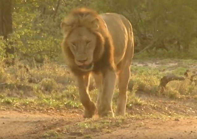 Una espina contra un león