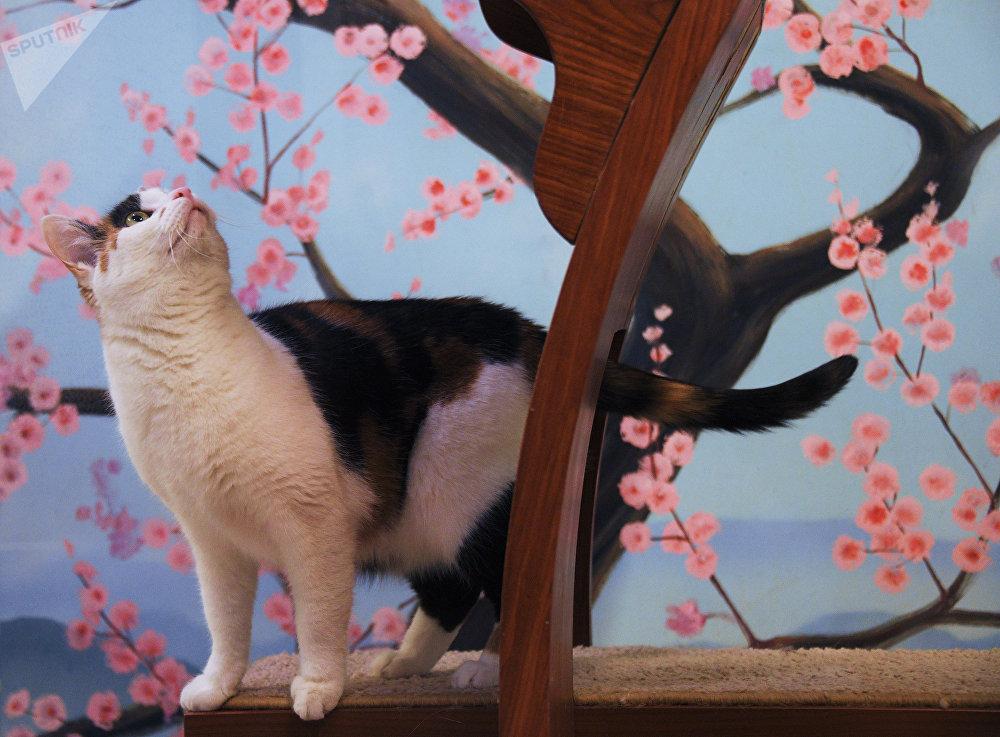 Uno de los residentes del departamento para gatos al estilo japonés del Teatro Kuklachov