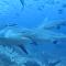 Decenas de tiburones rodean a los buzos en Fiyi (vídeo)