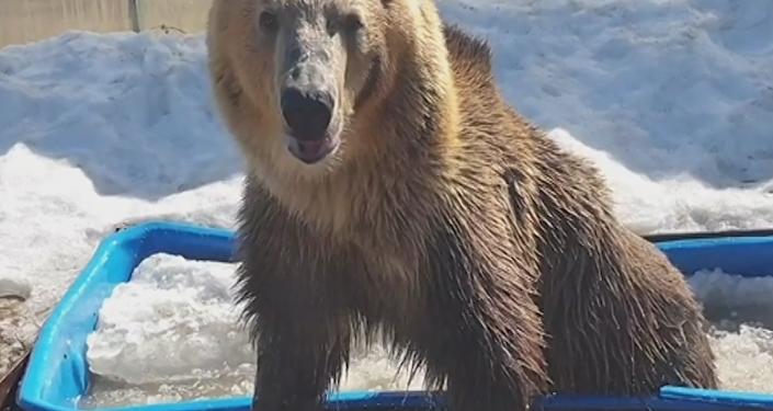 ¡Como una celebridad! Este oso ruso disfruta de la vida en una bañera