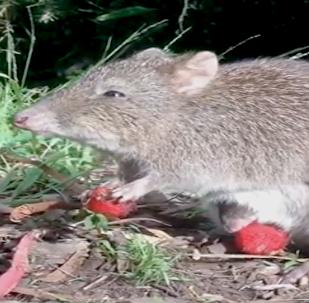 Bebé potoroo y su mamá comen una baya en Australia