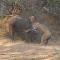 Una implacable batalla entre un león y un búfalo termina de manera inesperada