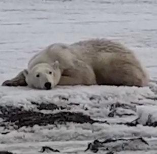¿Cómo acabó este oso polar a cientos de kilómetros de casa?