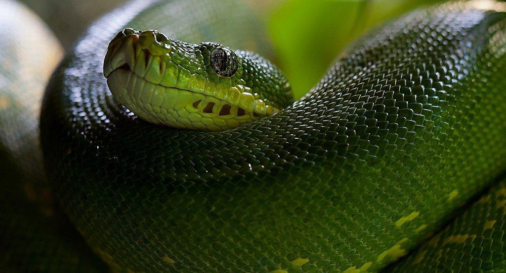 (FOTOS) Encuentran una serpiente de tres ojos en Australia