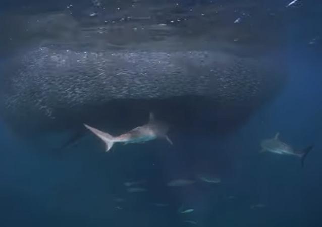 Un grupo de tiburones acude a un banquete 'muy fácil'