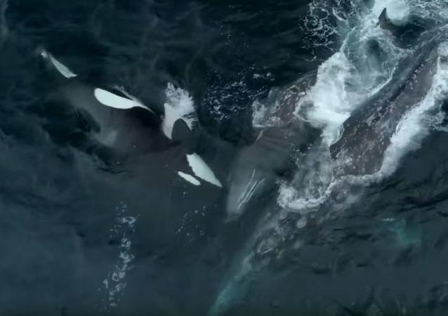 Unas orcas atacan a una ballena con su cría