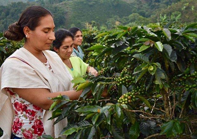 Excombatientes de las FARC colombianas impulsan proyecto de exportación de café orgánico
