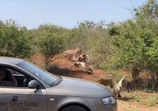 Una leona le roba el festín a una bandada de buitres