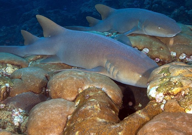 Tiburones nodriza, foto de archivo
