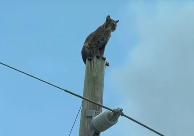 Lince atrapado sobre un poste