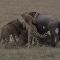 Cinco guepardos hambrientos se lanzan contra un ñu