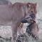 Un perro salvaje logra engañar a una leona... ¡haciéndose el muerto!