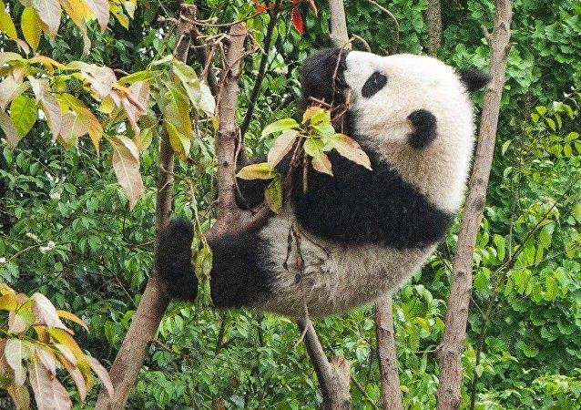 Un oso panda, imagen referencial