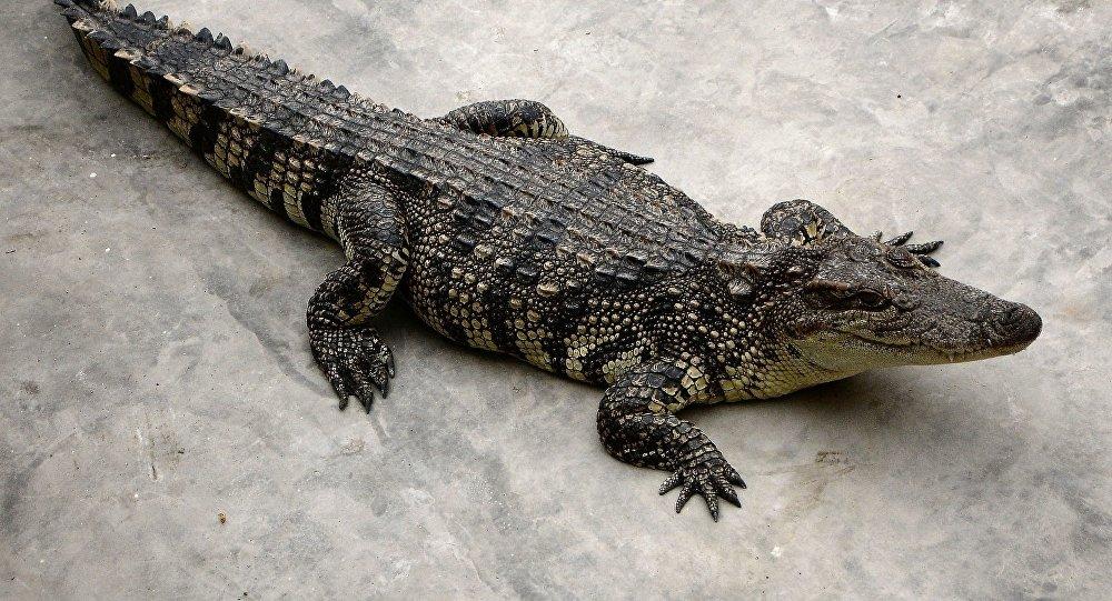 Un cocodrilo, imagen referencial