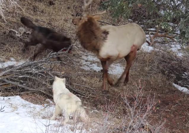 Cuando no hay escapatoria: dos lobos rodean a un alce ensangrentado