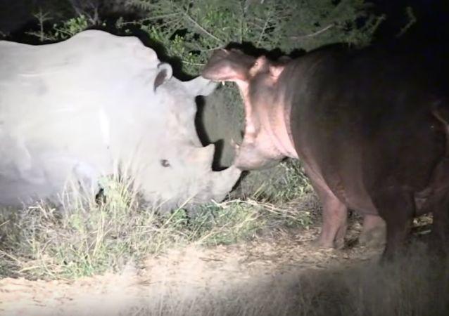 Hipopótamo contra rinocerontes