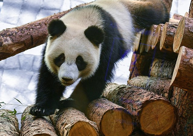 La osa panda Ding Ding del zoológico de Moscú