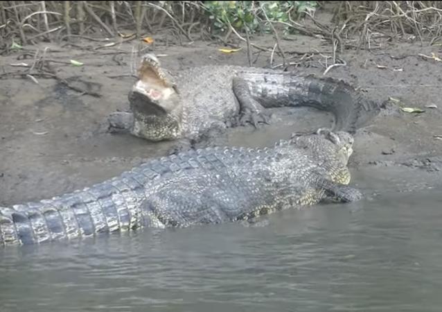 Tensión en el río: un vídeo capta el duelo entre dos cocodrilos