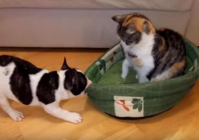 Un cachorro echa a un gato 'impostor' de su cama