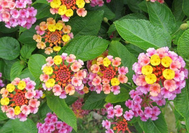 Lantana, una flor nativa de México