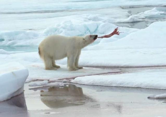 Crueles juegos del Ártico: un oso polar se divierte con su presa