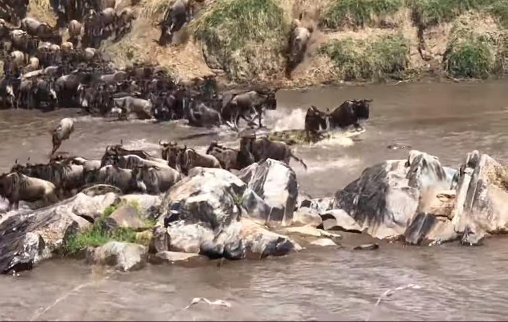 Los ñus saltan sobre el cocodrilo