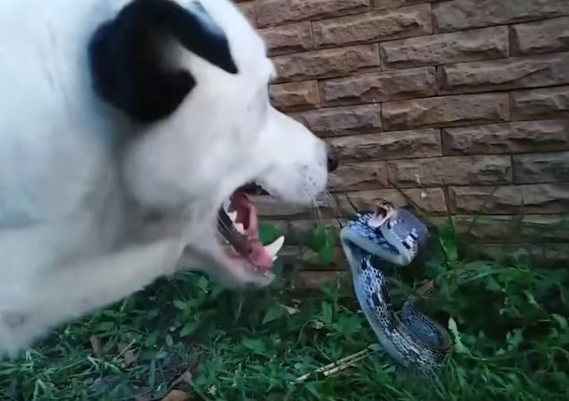 Este perrito pone en jaque a una peligrosa serpiente