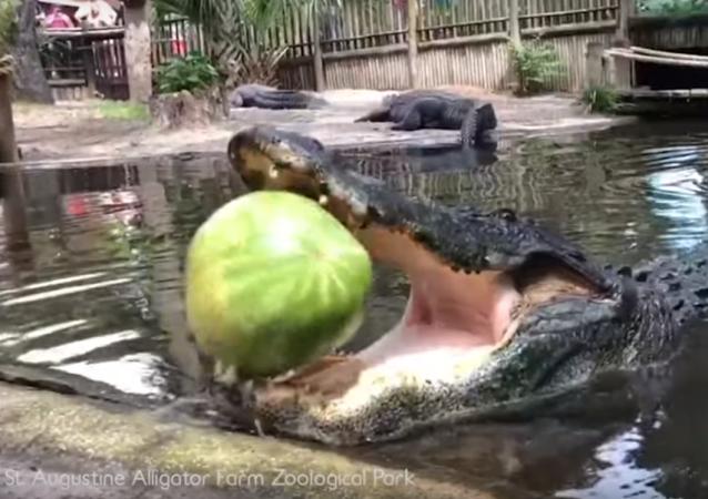 Un enorme aligátor hace explotar una sandía