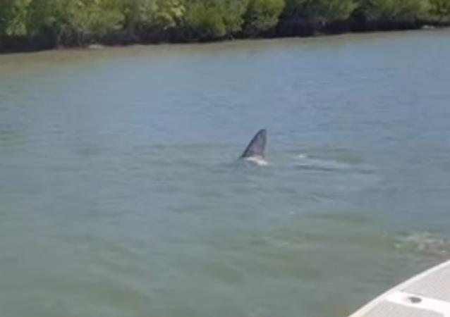 ¡Vaya susto! Un enorme tiburón se acerca a un barco pesquero