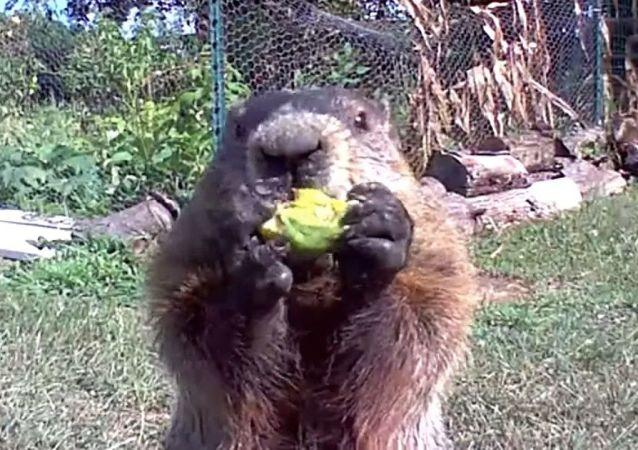 Chunk, la marmota ladrona que conquistó las redes con su desfachatez