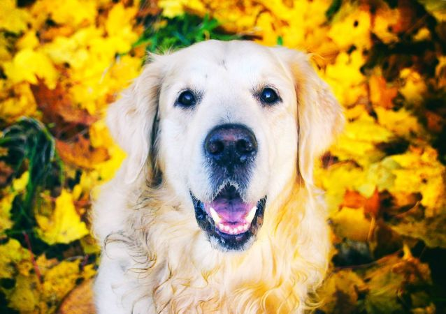 Un perro de la raza golden retriever