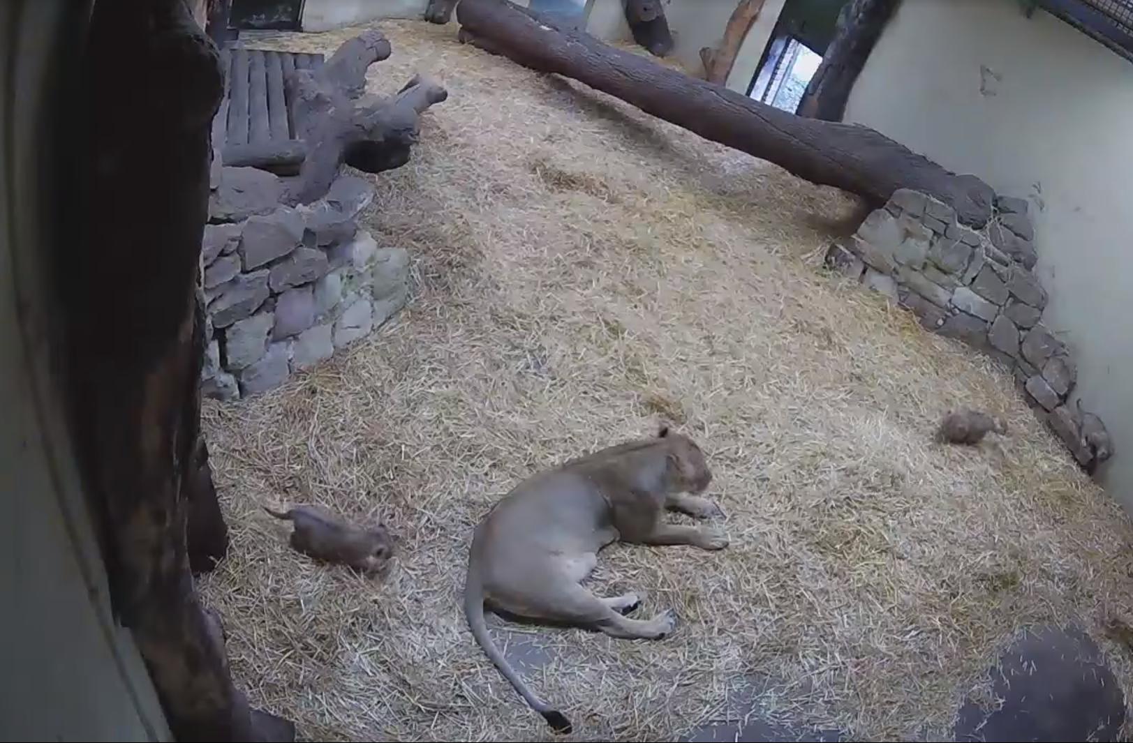 Un cachorro de león da un susto de muerte a su mamá