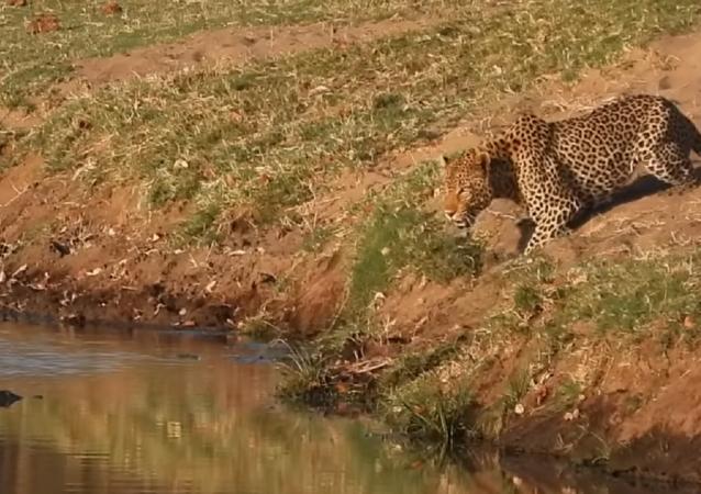 Un leopardo intenta robarle la comida a un cocodrilo
