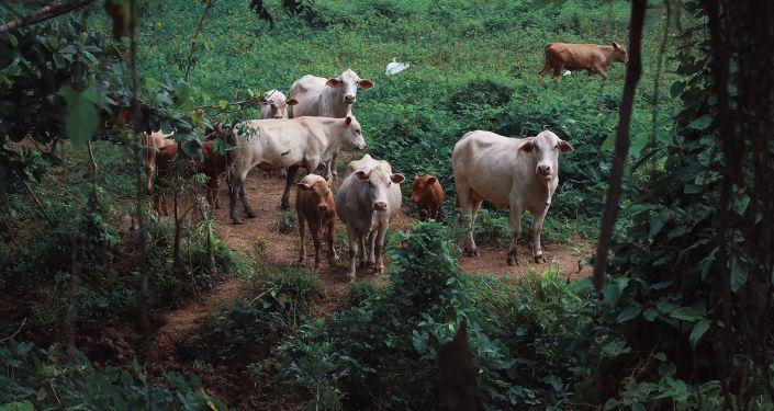 Una manada de vacas, imagen referencial