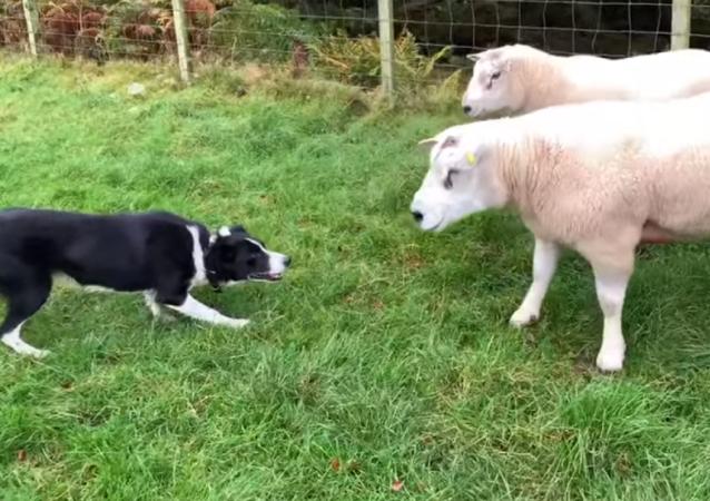 Dos ovejas dan una paliza a un perro: ¿quién ganará?