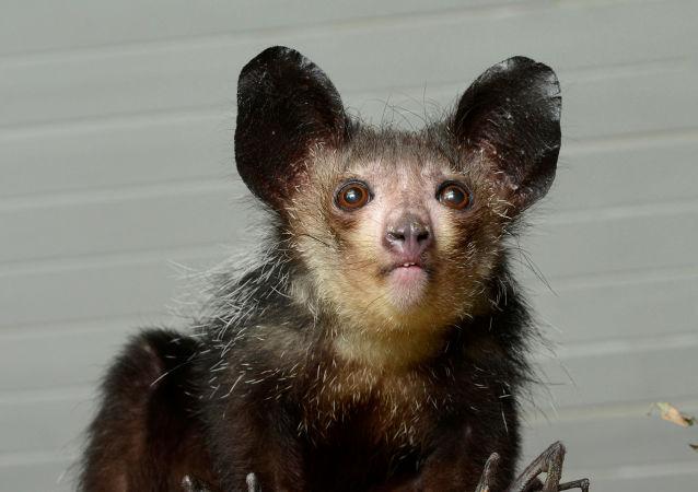 Un primate aye-aye