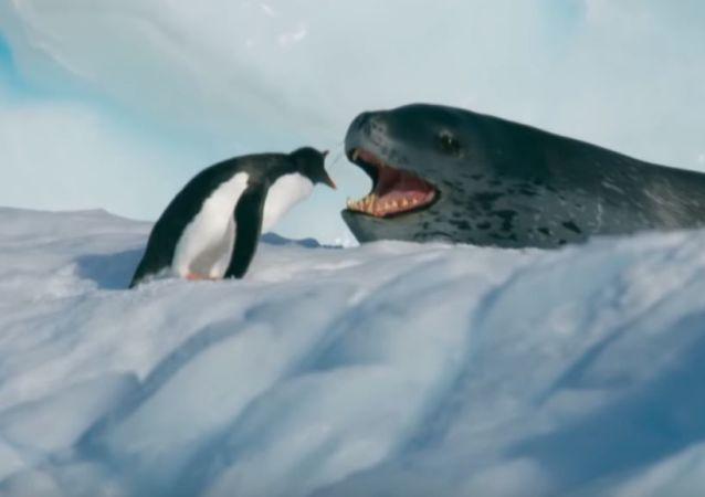 Un leopardo marino persigue a un pingüino