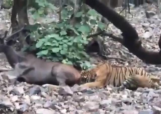 El rápido y mortal ataque de un tigre