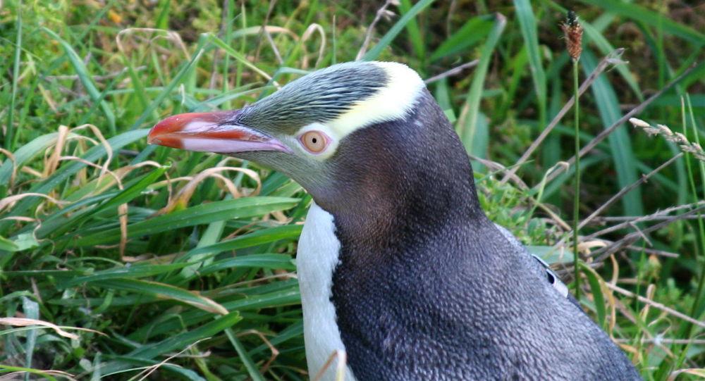 El pingüino de ojo amarillo
