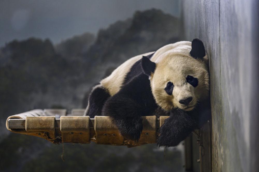 La panda Bei Bei descansa en el zoo nacional Smithsonian en Washington.