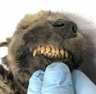 Cachorro siberiano de cerca de 18.000 años de antiguedad