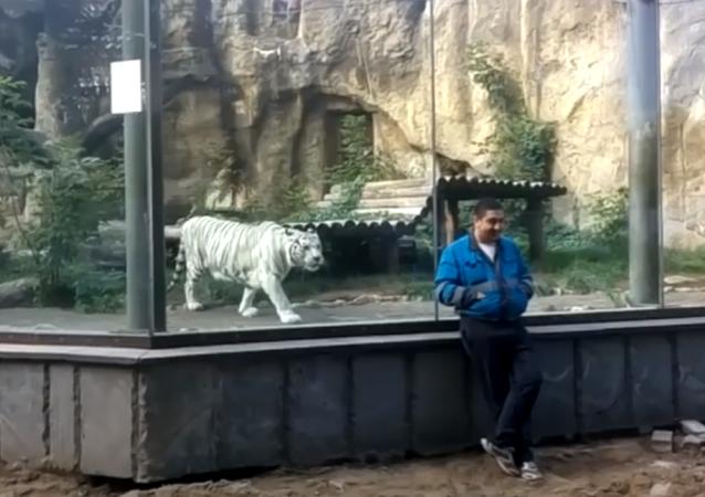 Un tigre blanco le pega un susto de muerte a un hombre