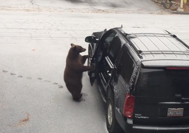 Un oso abre la puerta de un automóvil