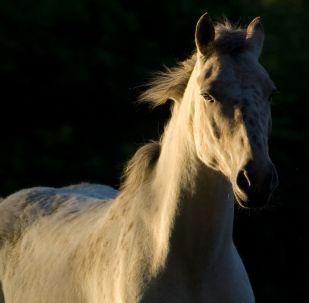 Un caballo blanco (imagen referencial)