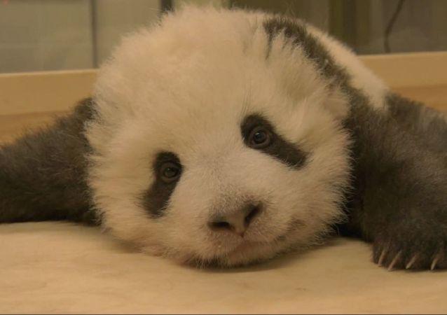 Un oso panda bebé