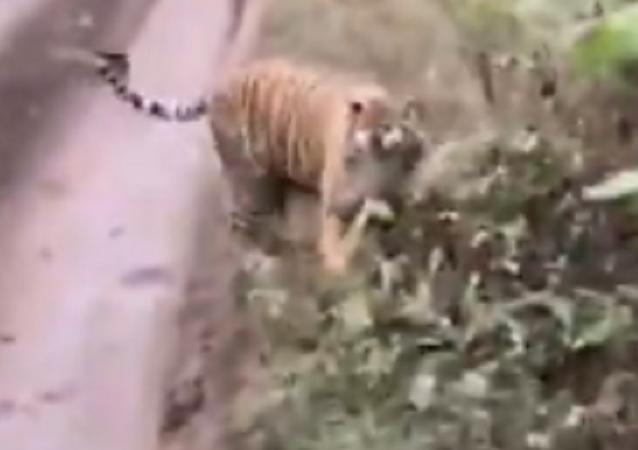 No juegue con fuego: una agresiva tigresa persigue un auto en un safari