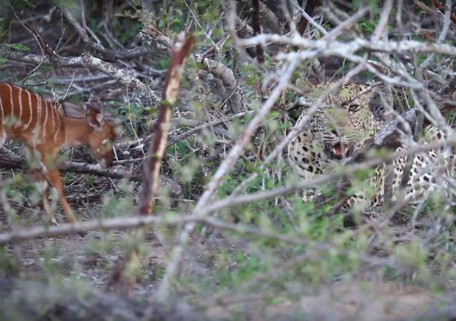 Insólito: un bebé antílope 'cornea' a un leopardo