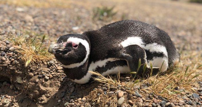 Un pingüino de Magallanes cerca de su nido en Chubut, Argentina