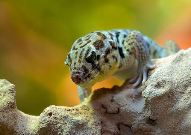 Un gecko, referencial