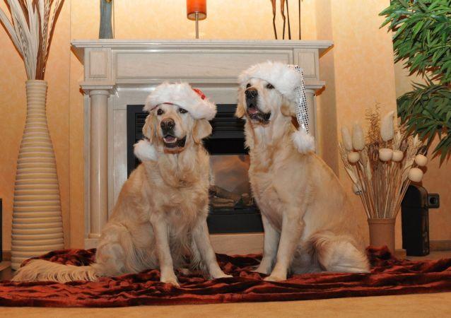 Dos golden retrievers en la Navidad, referencial